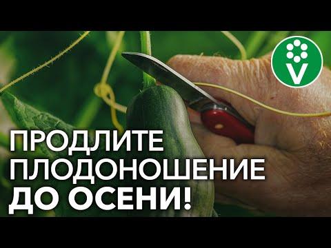 Вопрос: Как заставить огурцы плодоносить до середины сентября?