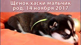 Предлагаем щенка хаски, мальчик ч/б, родился 14 ноября 2017 года