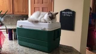 Ragdoll cat - Кошка рэгдолл скучает по хозяевам и просит не уезжать!