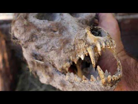 Real Dogman/Werewolf Skull?
