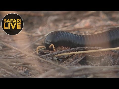 safariLIVE - Sunrise Safari - November 30, 2018