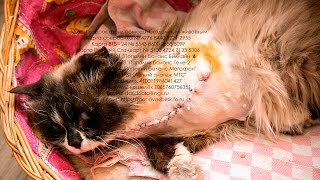 Спасение кошки с оторванной лапой Эрики Приют для бездомных животных