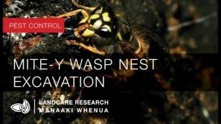 Mite-y wasp nest excavation