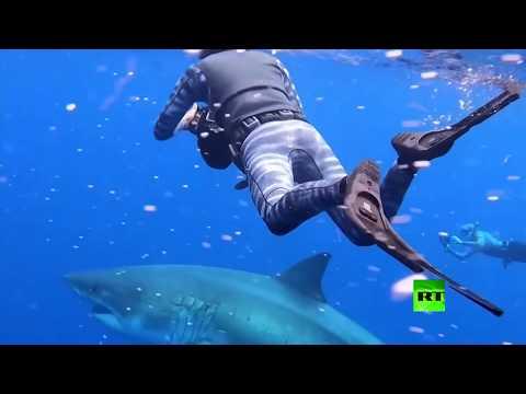 شاهد.. باحثان يسبحان مع أضخم سمكة قرش أبيض في المحيط المفتوح  - نشر قبل 1 ساعة