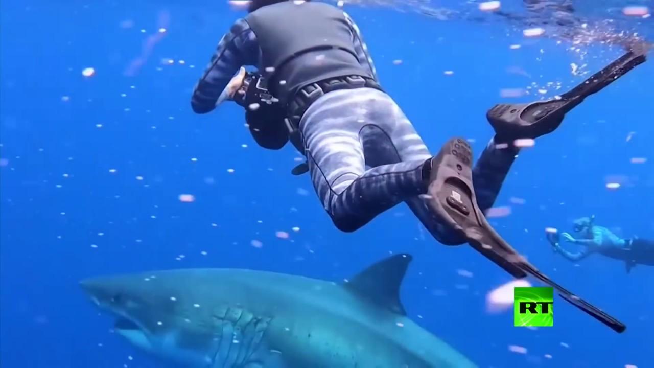 شاهد.. باحثان يسبحان مع أضخم سمكة قرش أبيض في المحيط المفتوح