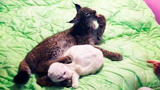 ДЕНЬ РОЖДЕНИЯ ХАННЫ. Взвешивание рыси, игры с котом, кайфушки от одеяла