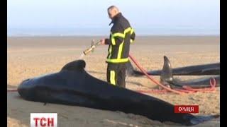 Десять китів викинулися на берег французького міста Кале