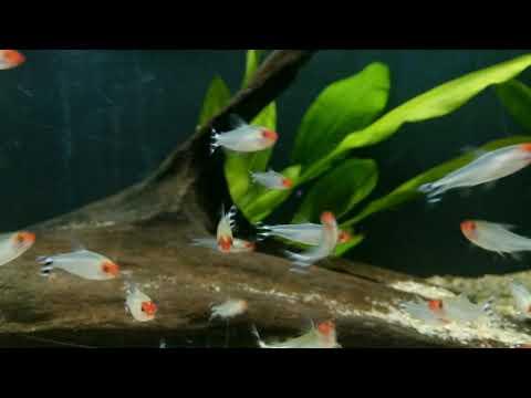 Hemigrammus Rhodostomus Bij Aquarium Speciaalzaak Utaka