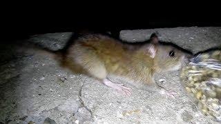 Крысы совсем оборзели, не боятся ни чего.