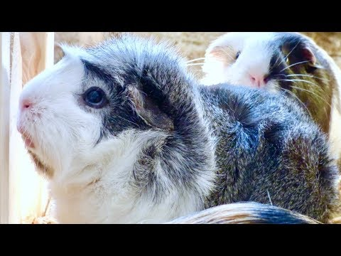 Earning Your Guinea Pig's Trust | Tips For Taming