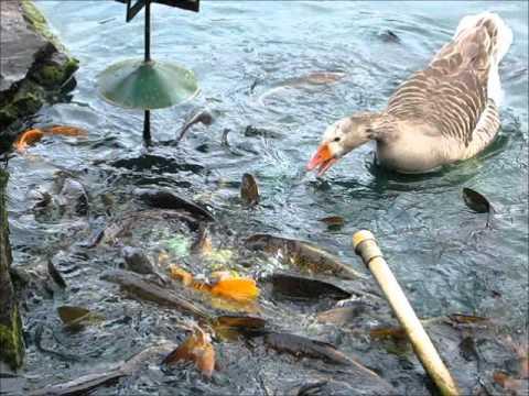 Swans feeding fishes koi carp youtube for What to feed baby koi