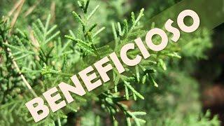 Venas para ciprés limón varicosas de hierba aceite de y