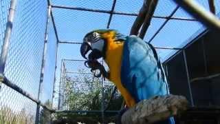 簡単にクルミを割って食べるルリコンゴウインコ スイス Plättli-Zoo Fra...