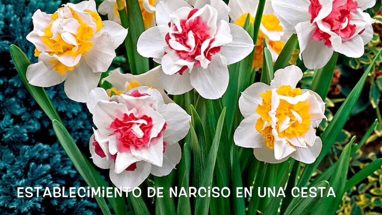 Plantando Bulbos De Narcisos En Una Cesta YouTube
