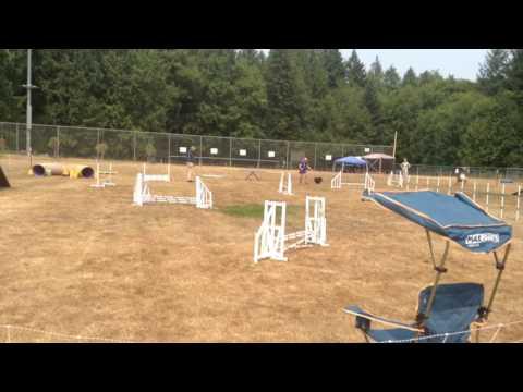 Jack's 2nd Open Standard leg, 8/5/17, Lakebay, Boston Terrier trials