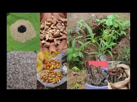 Tribal Medicines of Gandhamardan Hills for Cissus- Borreria Toxicity: Film by Pankaj Oudhia