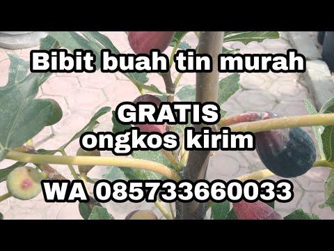 tempat-beli-bibit-buah-tin,-herbal-daun-tin,-murah-gratis-ongkos-kirim-ya-di-sini-wa-085733660033
