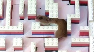 Mouse in a Lego maze