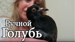Необычный питомец || Голубь || Домашний ручной голубь Сева || Знакомство с диким голубем