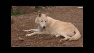 International Wolf Center- Laying Low 21 July 2017