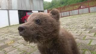 迷子の赤ちゃんクマを保護、ボスニア・ヘルツェゴビナ(17日) thumbnail
