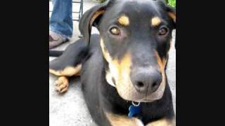 Cute Rottweiler Cross