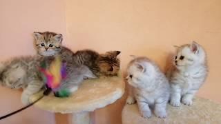 Котята золотая шиншилла от первой вязки.