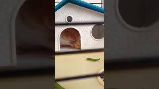 O balık kraker ya:) - Hamster yemek zamanı