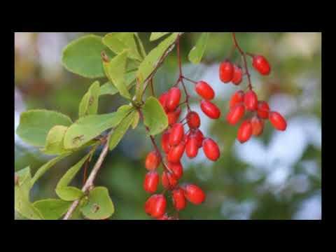 барбарис листья и плоды использование