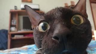 Кот корчит морды