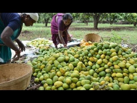 10 Largest Mango Producing Countries In The World