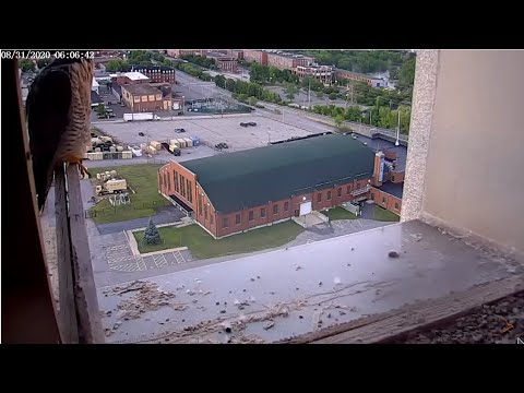 Peregrine Networks Live Peregrine Falcon Feed1 (Manchester, NH, USA)