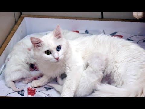 2019 yılının ilk Van kedileri doğdu