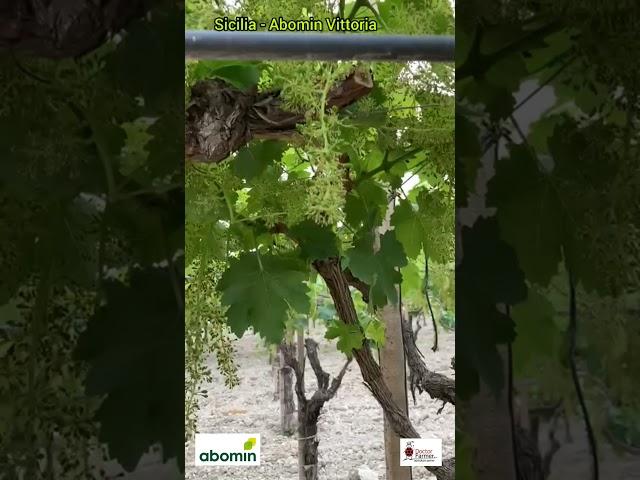 Azienda F.lli Gallo - secondo anno di concimazione senza chimica su piante virosate.