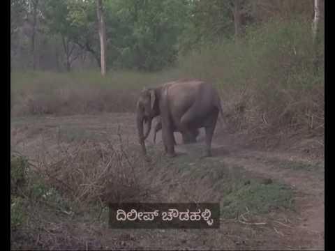 Elephant attacks on a Tiger
