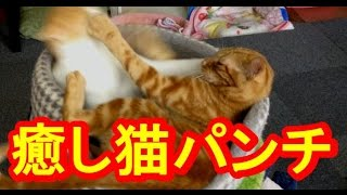 【子猫おもしろ猫カフェ通信】兄弟仲良し子猫癒しの猫パンチ フリー音楽...