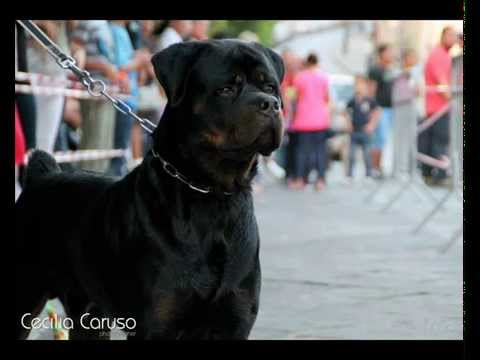 ronnie rottweiler di angelo chieto