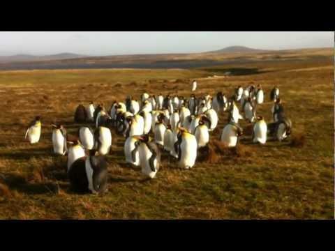 Penguins at Volunteer Point, Falkland Islands. V