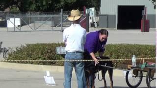 Medallion Rottweiler Club Carting Trial 10/7/15 Part 1