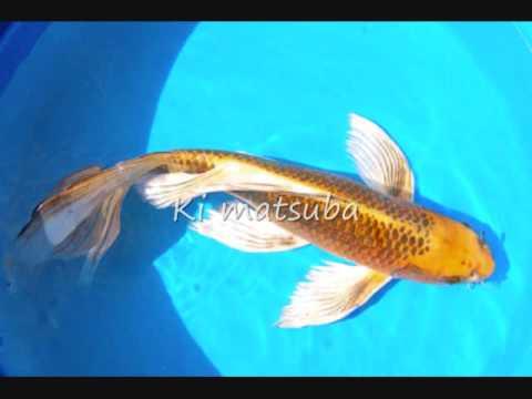 All kinds of japanese koi youtube for Kumak s fish