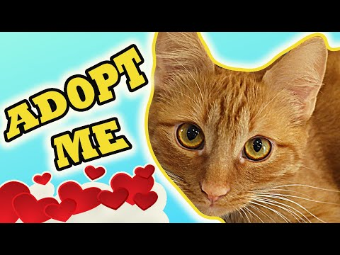 Reasons To Adopt A Ginger Cat | Your Life Will Change