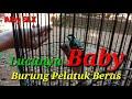 Burung Pelatuk Beras  Mp3 - Mp4 Download