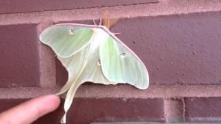 Mariposa verde. Luna Moth
