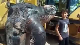ШОК!!! СМОТРЕТЬ ВСЕМ!!! САМУЮ БОЛЬШУЮ В МИРЕ Кожистую черепаху выкинуло на берег Испании!
