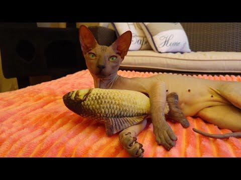 "Sphynx cat ""Chikita"" Adorable kitten / DonSphynx / 4k"