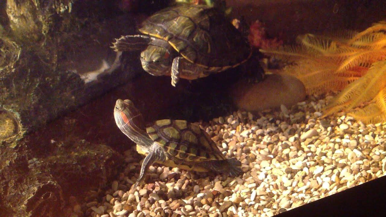 Брачный ритуал красноухих черепах.