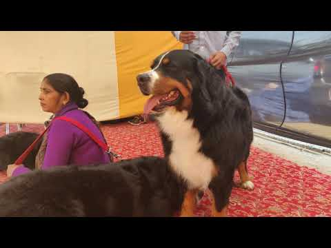 Bernese Mountain Dog -  Doggyz World
