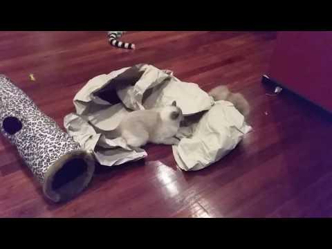 Paper Playtime! - PoathCats / PoathTV / Floppy Ragdoll Cats