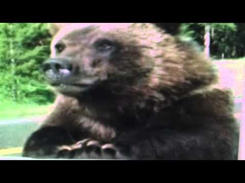 "Yellowstone ""Grizzly Bear Eats A Hiker"""