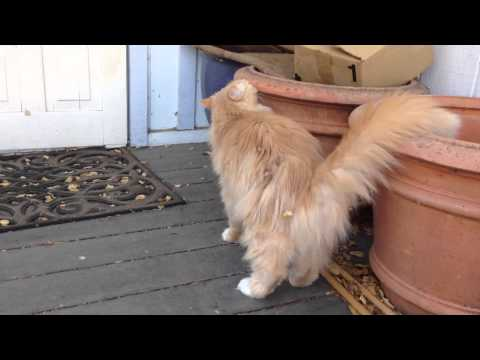 My Siberian Forest Cat Being Friendly